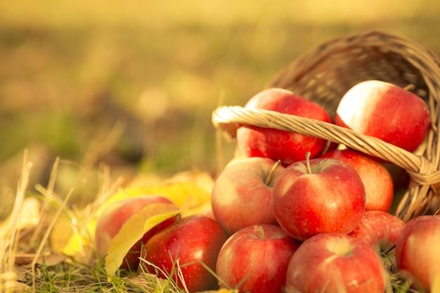 秋の庭の芝生に散らばる赤いジューシーなリンゴがいっぱいのバスケット