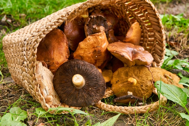 Basket full with big mushrooms on green forest ground.