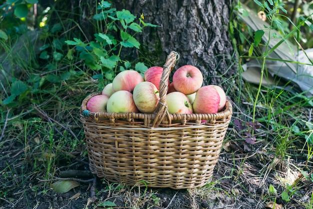 Basket of garden apples in the garden