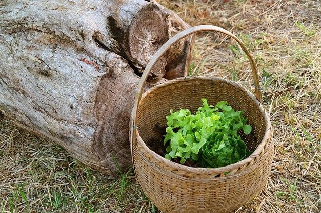 乾いたわらで覆われた地面に新鮮な収穫された緑のレタスのバスケット