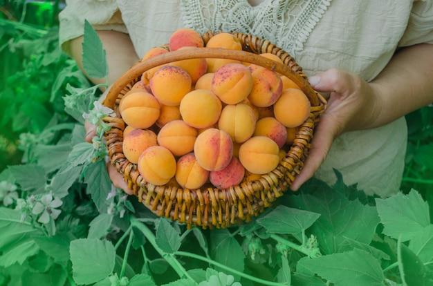 収穫されたアプリコットのバスケット。