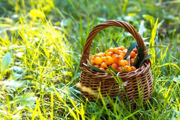 シーバックソーンのバスケット。環境的にきれいな場所での合宿中の草の中。菜食主義者とビーガンのためのビタミン