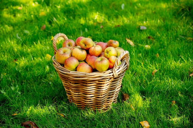 정원에서 푸른 잔디에 사과 바구니