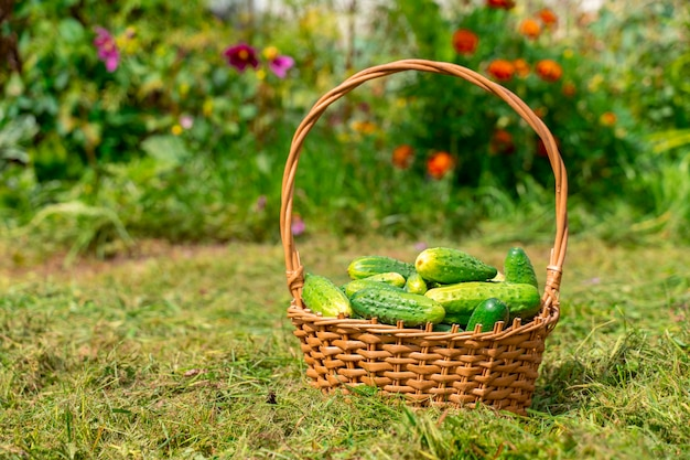 Basket with bio organic fresh cucumbers on the grass on a background of flowers
