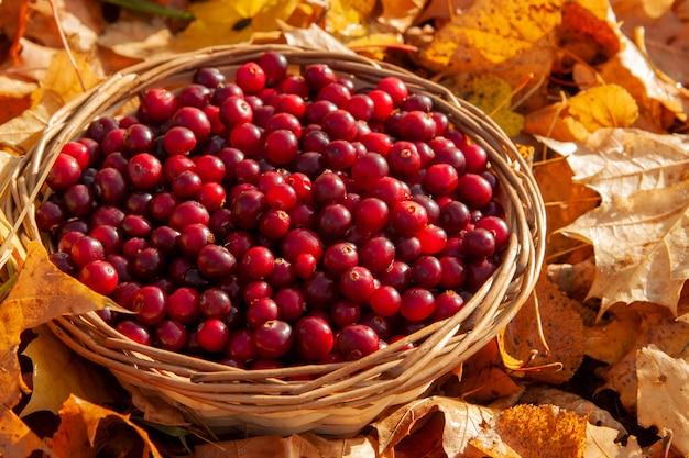 Корзина с клюквой в корзине на осень. национальный праздник клюквы и день благодарения.