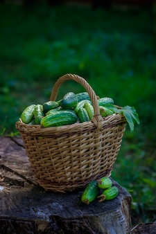 Basket with cucumbers. autumn harvesting. summer harvest. blanks for the winter.