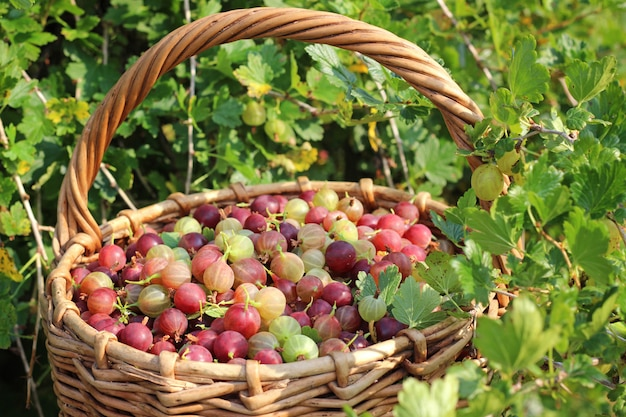 Basket with a gooseberry against a bush with berries.
