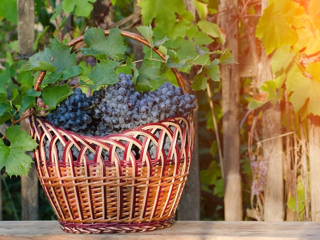 Basket with grapes on the hedge background, setting sun