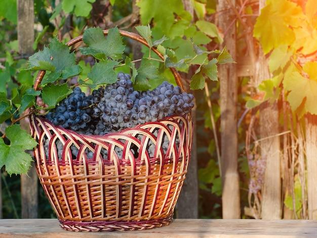 Корзина с виноградом на фоне изгороди, заходящее солнце