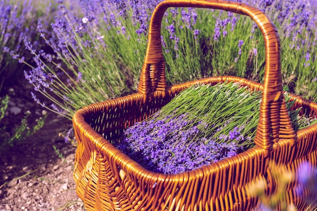 Basket with lavender in the field