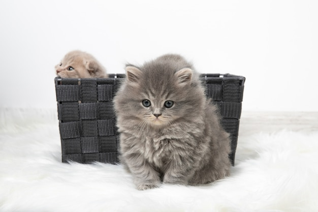 Basket with little kittens in the room on the carpet. cozy shining room. beautiful fluffy kittens.