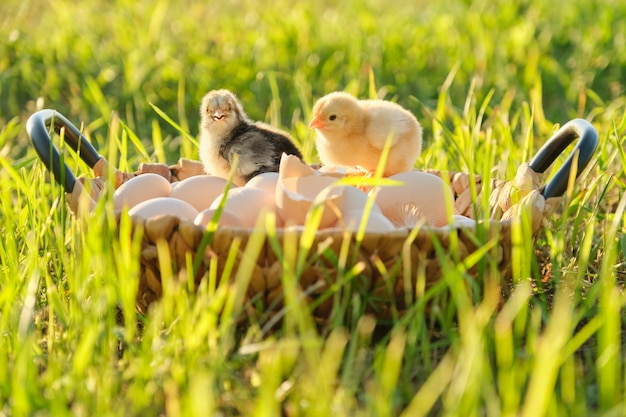 Basket with natural fresh organic eggs with two little newborn baby chickens