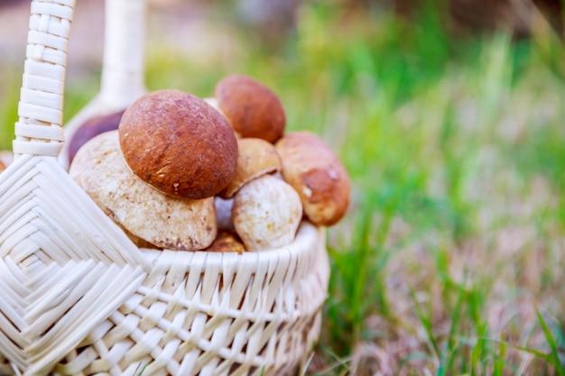 잔디에 porcini 버섯 바구니입니다. 버섯 따기 시즌.