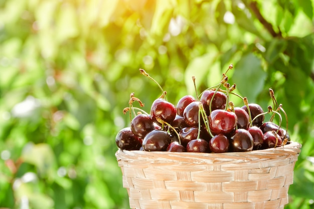 Basket with ripe cherries on greenery, sunlight. close up