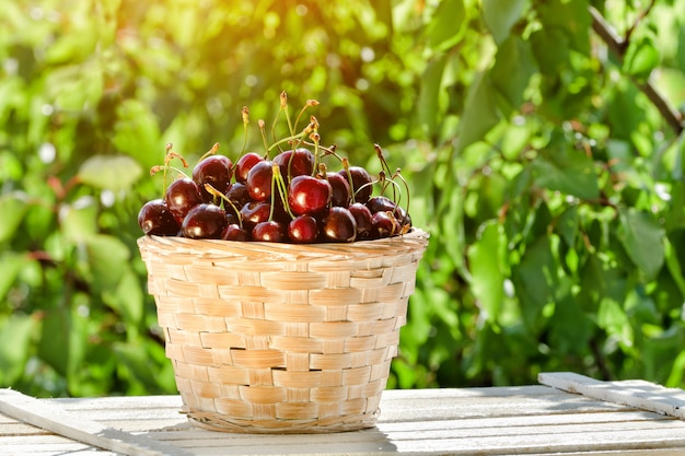 Basket with ripe cherries on greenery, sunlight.