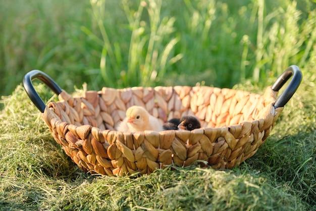 2つの小さな生まれたばかりの赤ちゃんの鶏、草の自然の背景とバスケット