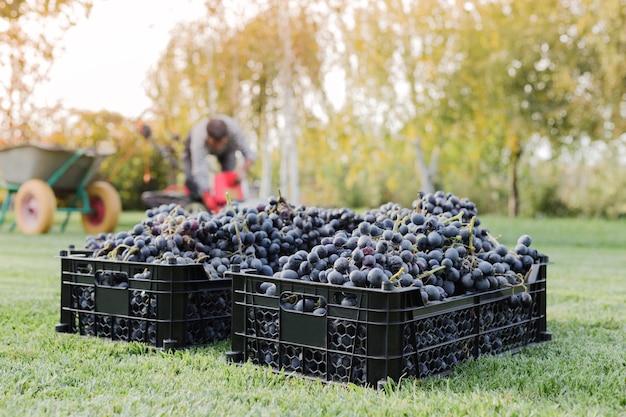 잘 익은 바구니 야외에서 검은 포도의 움 큼. 가을 포도 포도 와인 만들기 위해 배달 준비 잔디에 포도 수확. cabernet sauvignon, merlot, pinot noir, sangiovese 포도 종류가 상자에 담겨 있습니다.