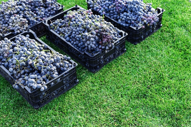 익은 바구니 야외에서 검은 포도의 움 큼. 포도밭의 가을 포도 수확은 포도주를 만들기 위해 배달될 준비가 된 풀밭에 있습니다. 카베르네 소비뇽, 메를로, 피노 누아, 산지오베제 포도 분류