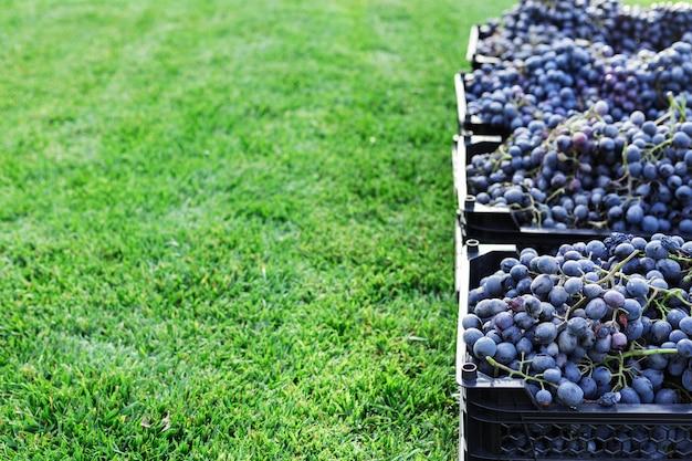 屋外の黒ブドウの熟した房のバスケット。秋のブドウは、ワイン造りのために配達する準備ができている草の上のブドウ園で収穫されます。カベルネ・ソーヴィニヨン、メルロー、ピノ・ノワール、サンジョヴェーゼのブドウの箱入り
