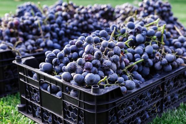 잘 익은 바구니 야외에서 검은 포도의 움 큼. 가을 포도 포도 와인 만들기 위해 배달 준비 잔디에 포도 수확.