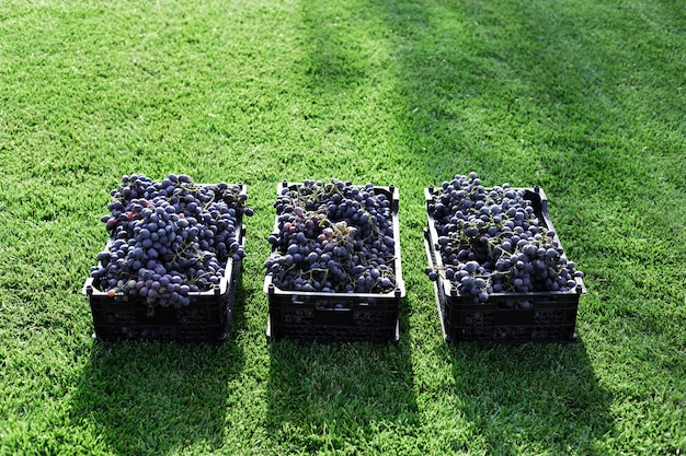 Baskets of ripe bunches of black grapes outdoors. autumn grapes harvest in vineyard on grass ready to delivery for wine making. cabernet sauvignon, merlot, pinot noir, sangiovese grape sort in boxes.