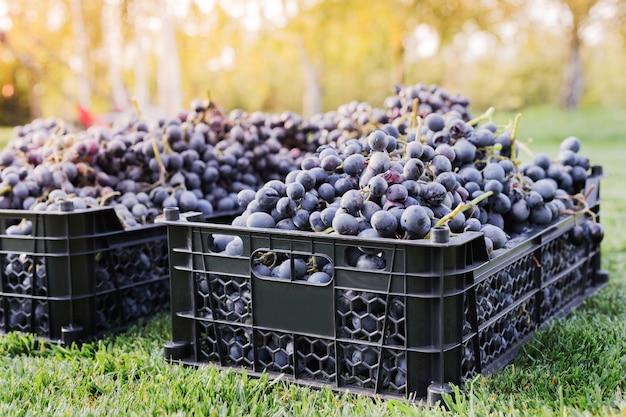 Baskets of ripe bunches of black grapes outdoors. autumn grapes harvest in vineyard on grass for wine making.