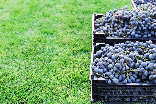 바구니 잘 익은 야외에서 검은 포도의 움 큼. 잔디 복사 공간에 포도밭에서 가을 포도 수확