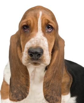 바셋 하운드 (3 개월)-허쉬 강아지