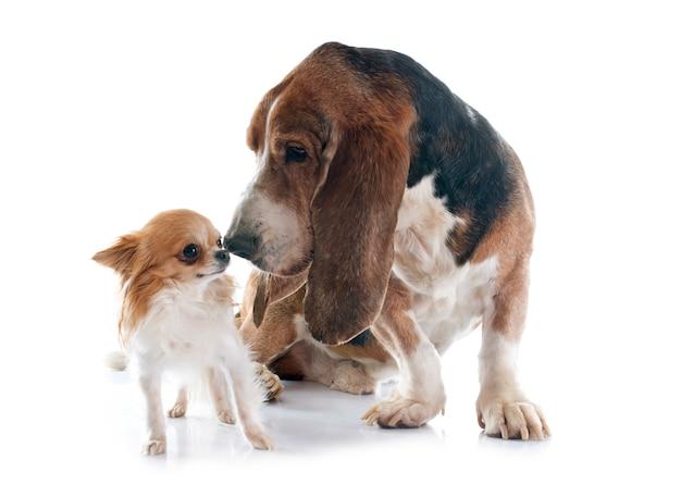 バセットハウンドとチワワ犬