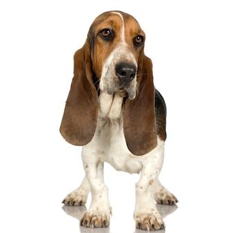 바셋 하운드-허쉬 강아지