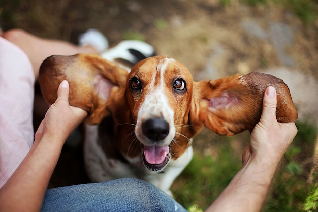 Basset hound plays with the owner. man and woman train and playing with joyful  funny dog with ears up.