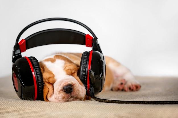 Щенок бассет-хаунда слушает музыку в наушниках.