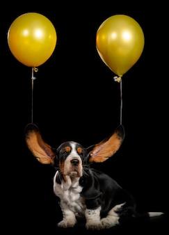 귀를 날리는 바셋 하운드 강아지.