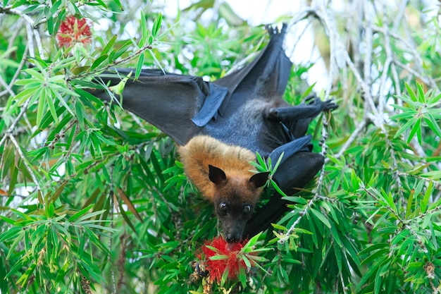 Bat hanging on a tree branch malayan bat