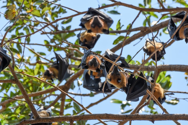 Bat (lyle's flying fox, pteropus lylei or pteropodidae) perched hanging