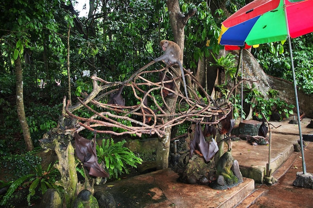The bat in monkey forest, bali zoo, indonesia