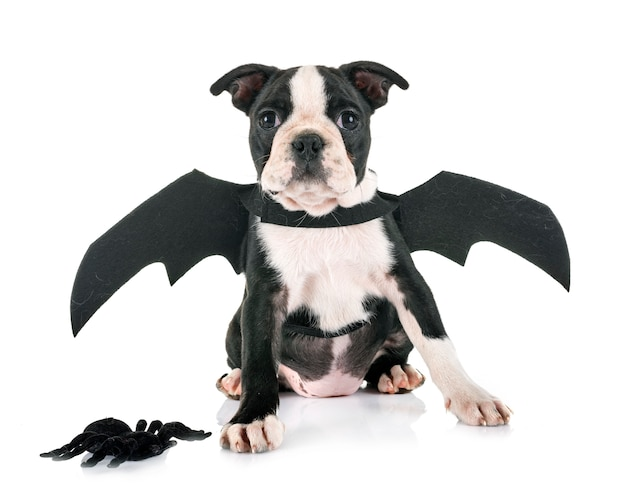 Bat puppy boston terrier