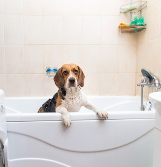 Bathing of the american beagle