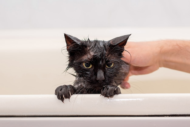Bathing discontented wet black cat