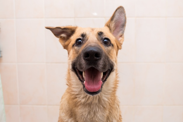 Bathing of the funny mixed breed dog. dog taking a bubble bath. grooming dog. Premium Photo
