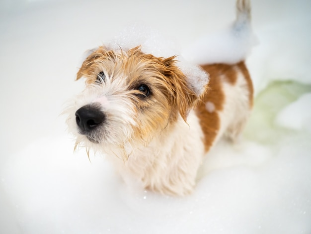 Bathing a jack russell terrier puppy in a bubble bath after a walk .