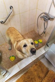 黄色いラブラドールレトリバーの入浴。泡をとる幸せ犬