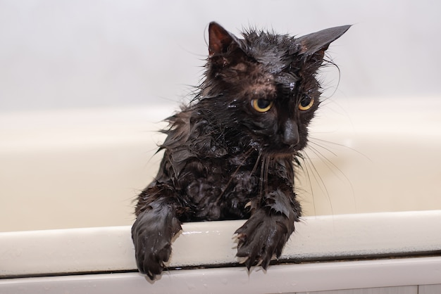 Bathing wet black cat with yellow eyes