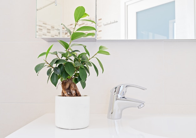 Bathroom design, fresh ficus plant in the interior.