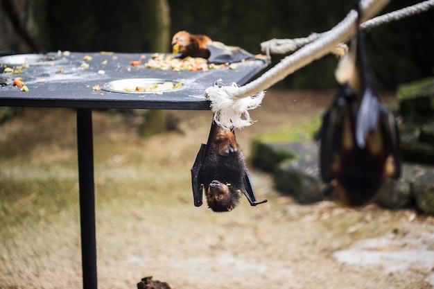 박쥐가 동물원 케이지에 매달려 있습니다. 거대한 황금 왕관을 가진 비행 여우.