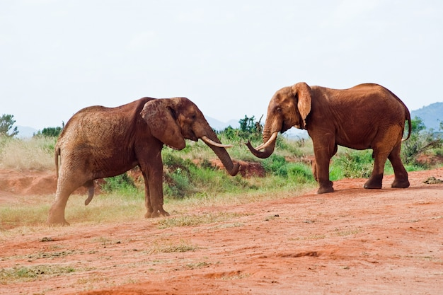 Battle of elephants