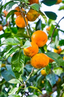 In batumi, the trees grow beautiful tangerines.