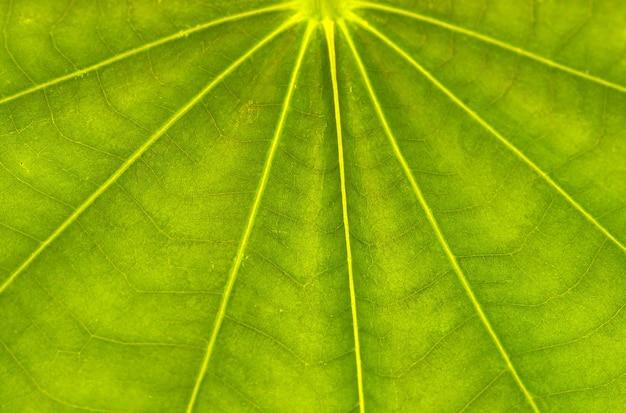 Листья баухинии, гибридное бобовое дерево