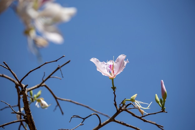 Bauhinia variegata紫色の蘭の木、植物科の一種。