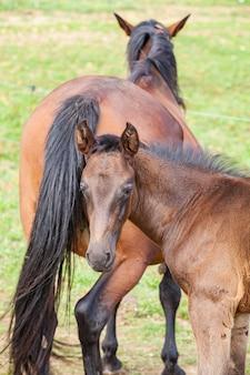 牧草地で夏に母親と一緒にいる子馬